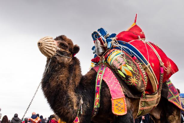 Costume Camel Wrestling